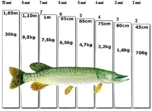 Vikt-längd